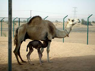 Nace en Dubai el primer dromedario clonado