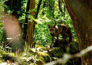 El zorro come 40 tipos de frutos y ayuda a expandir el bosque gallego