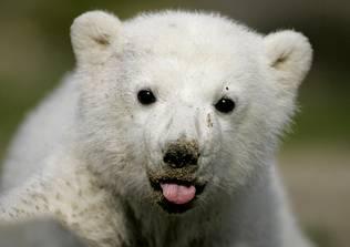 El oso polar Knut será disecado y tendrá un monumento en el zoo de Berlín