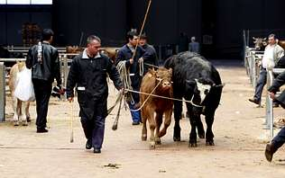 El Concello invita a los ganaderos  a trasladar ya el mercado a Silleda