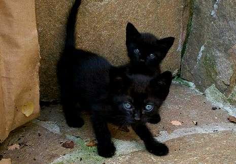 Casi nadie quiere gatos negros.