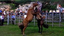 A rapa das bestas de O Valadouro da escenas espectaculares, como la pelea de garañones FOTÓGRAFO: XAIME RAMALLAL
