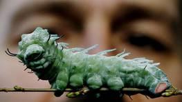 Una de las orugas m�s grandes del mundo FOT�GRAFO: PASCAL LAUENER   REUTERS