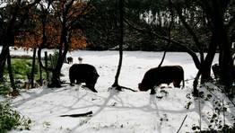Vacas pastando entre la nieve en Aranga. FOT�GRAFO: C�SAR DELGADO