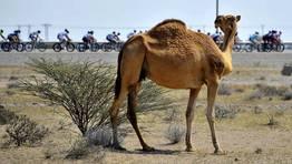 Un camello observa el paso de los ciclistas en el Tour de Om�n. FOT�GRAFO: NICOLAS BOUVY | Efe