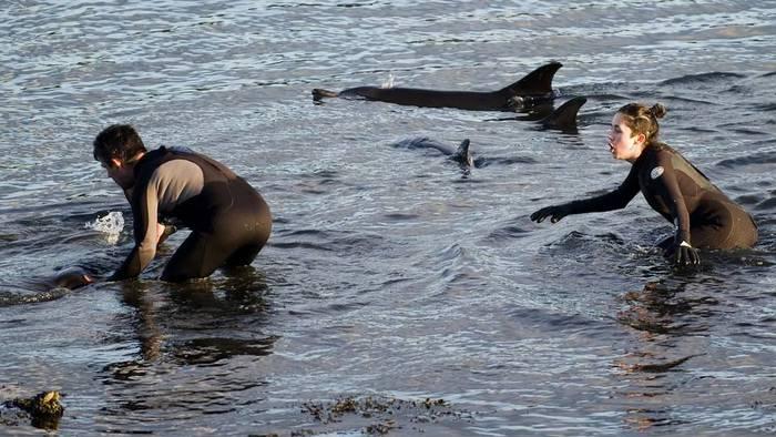 Inrtento de rescate de los diez delfines varados en A Malata ayer ANGEL MANSO