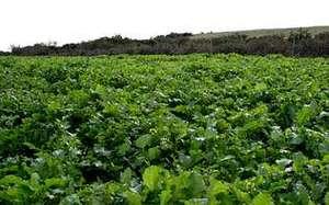 En la foto, la plantación de grelos en el lugar donde antes se almacenaba el material estéril de la mina. cedida