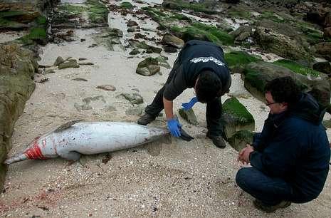 T�cnicos del Cemma analizan un delf�n varado en As Font��as, O Bao ALEJANDRO MART�NEZ MOLINA