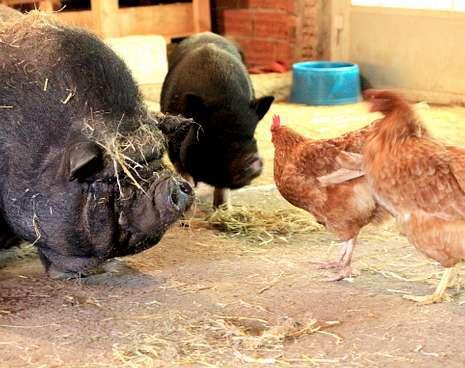 �Benita� y �Luisa� conviven con las gallinas �Pita� y �Xilda�.